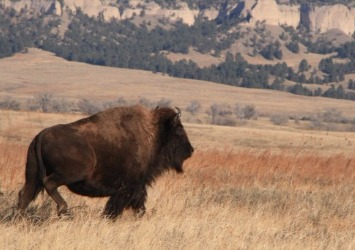 Large Bison Roams Fort Robinson [Courtesy/Fort Robinson State Park]