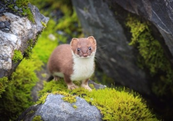 A Weasel In The Alaskan Wilderness [Photo Credit: Alaska Photography]