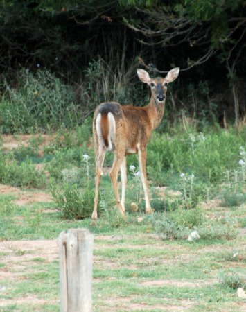 White Tail Deer At The Park [Courtesy/Palo Duro Canyon State Park]