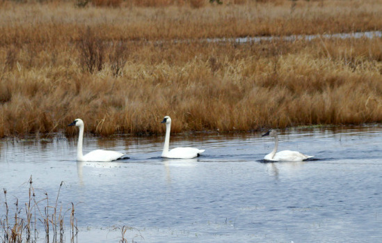 Swans At False Cape [Photo Credit: Renee Wright]